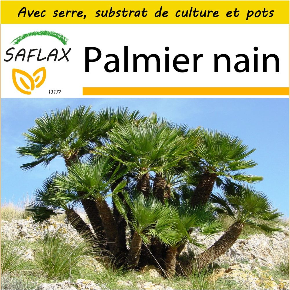 Saflax SAFLAX - Kit de culture - Palmier nain - 10 graines - Avec mini-serre, substrat de culture et 2 pots - Chamaerops humil