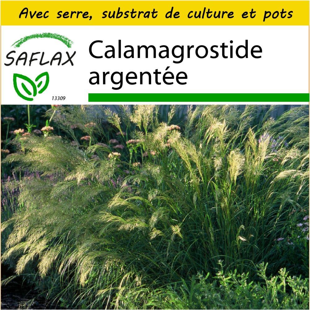 Saflax SAFLAX - Kit de culture - Calamagrostide argentée - 50 graines - Avec mini-serre, substrat de culture et 2 pots - Stipa