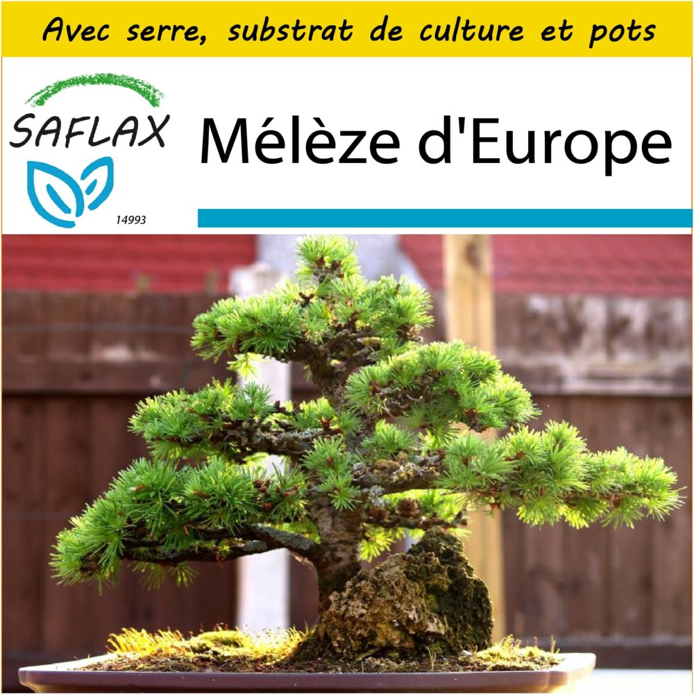 Saflax SAFLAX - Kit de culture - Mélèze d'Europe - 75 graines - Avec mini-serre, substrat de culture et 2 pots - Larix decidua