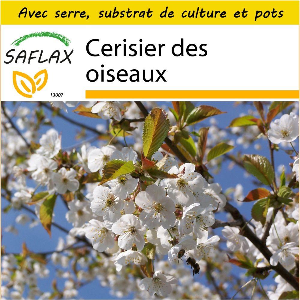 Saflax SAFLAX - Kit de culture - Cerisier des oiseaux - 10 graines - Avec mini-serre, substrat de culture et 2 pots - Prunus a