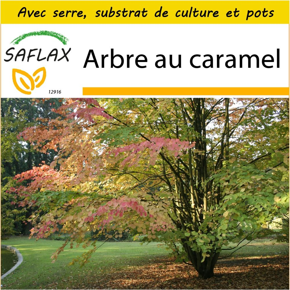 Saflax SAFLAX - Kit de culture - Arbre au caramel - 200 graines - Avec mini-serre, substrat de culture et 2 pots - Cercidiphyl