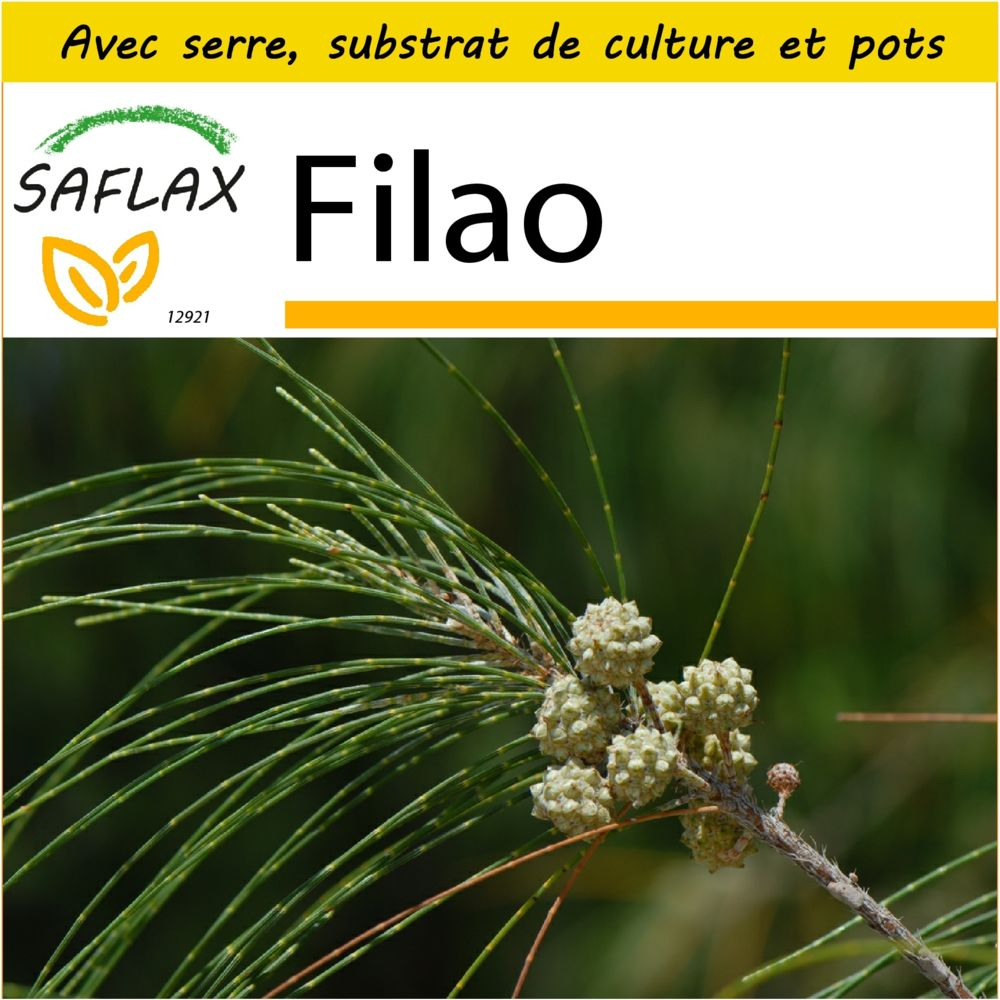 Saflax SAFLAX - Kit de culture - Filao - 200 graines - Avec mini-serre, substrat de culture et 2 pots - Casuarina equisetifoli