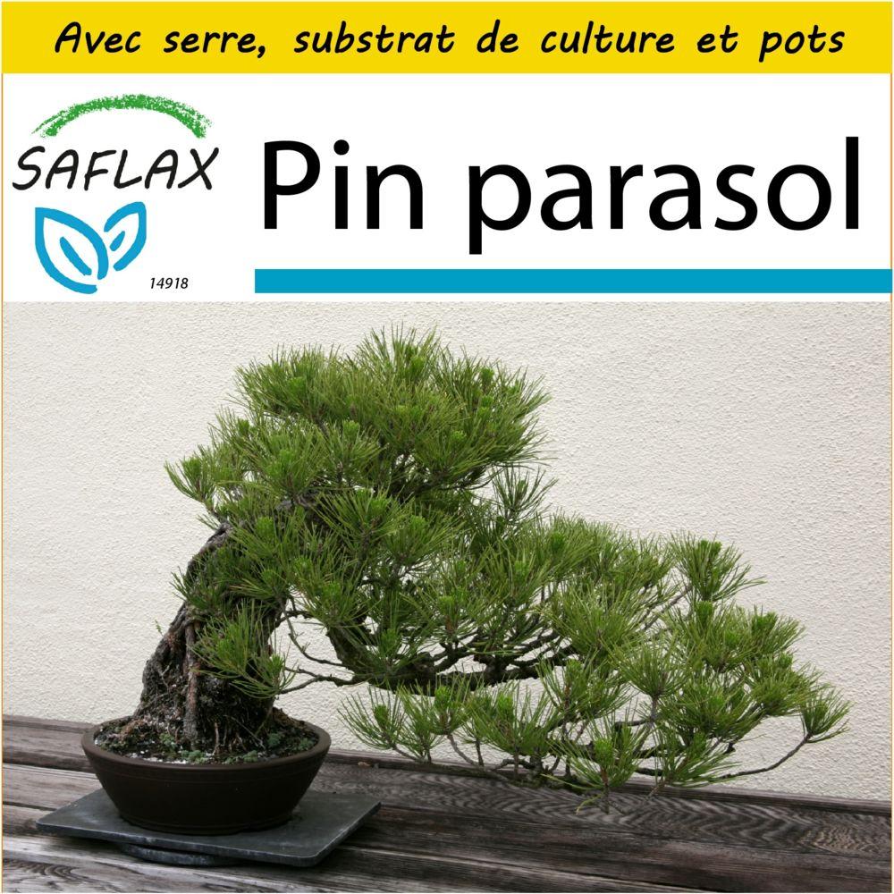 Saflax SAFLAX - Kit de culture - Pin parasol - 6 graines - Avec mini-serre, substrat de culture et 2 pots - Pinus pinea