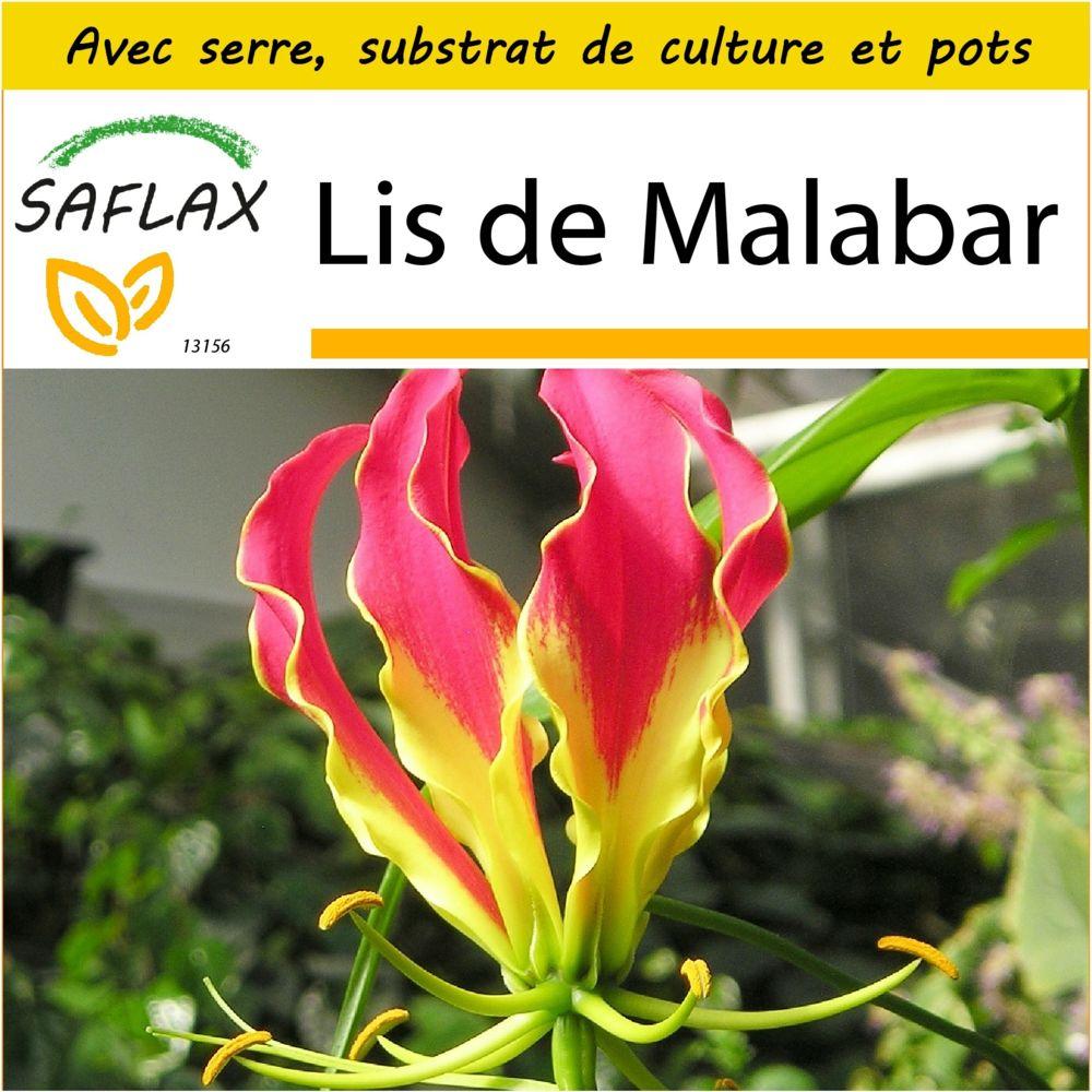 Saflax SAFLAX - Kit de culture - Lis de Malabar - 15 graines - Avec mini-serre, substrat de culture et 2 pots - Gloriosa roths