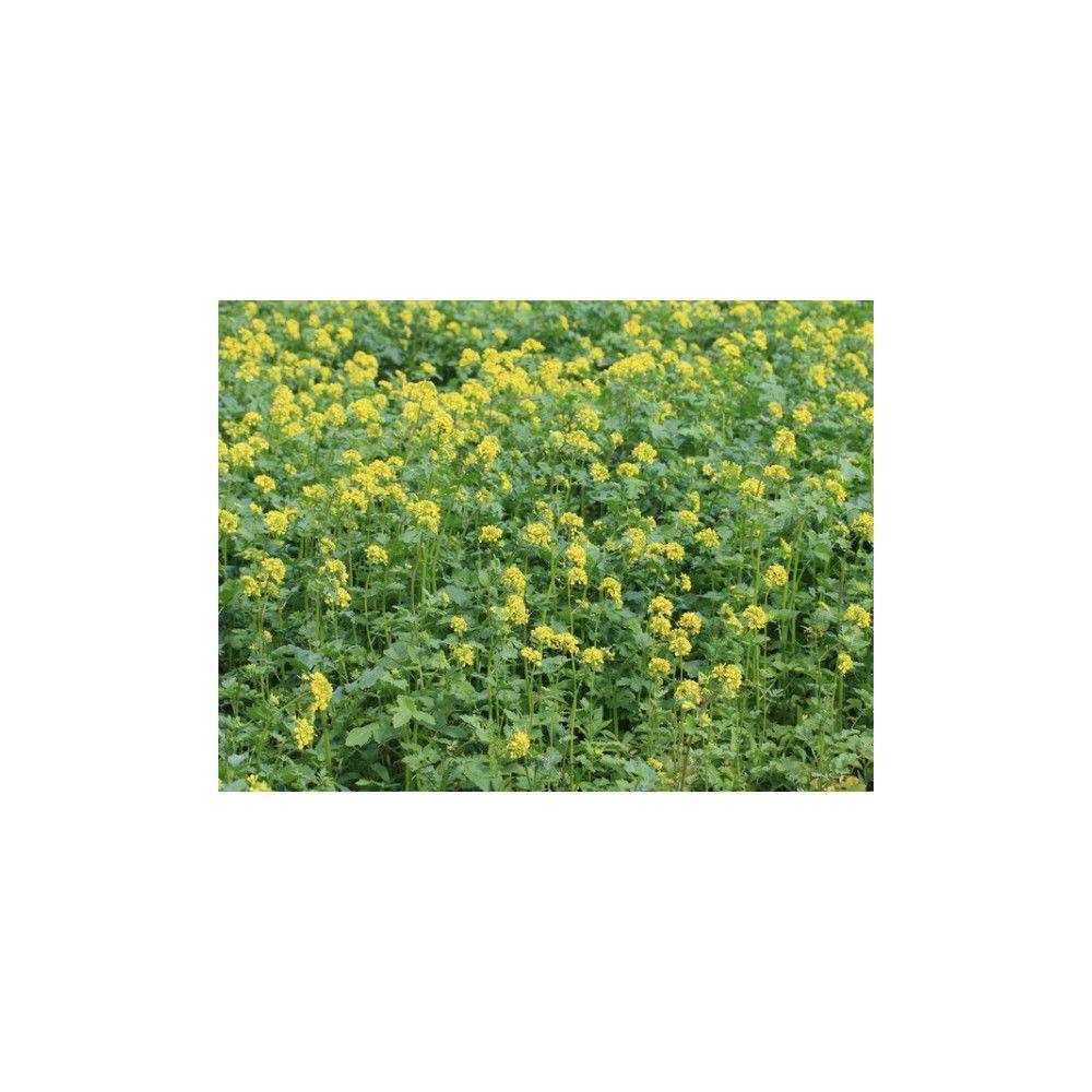 Vilmorin Moutarde blanche Engrais vert 500gr Vilmorin - 400 m2