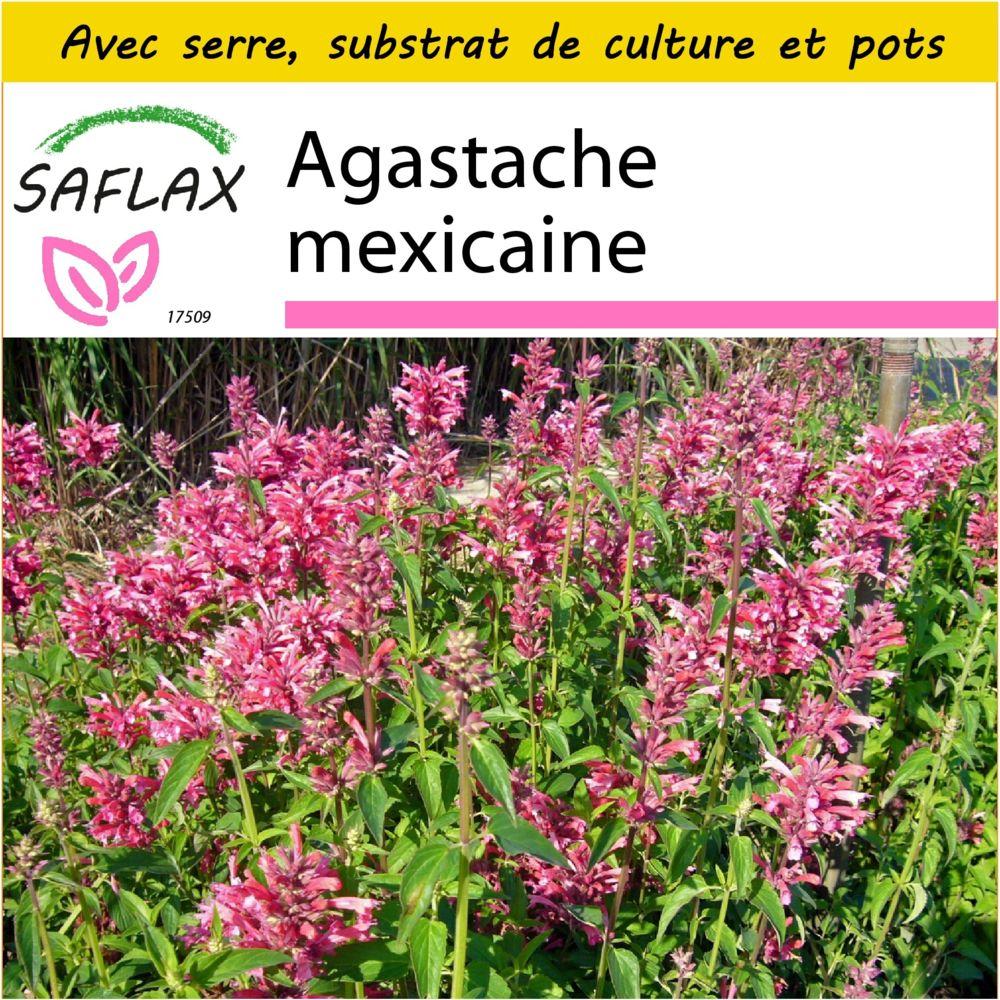 Saflax SAFLAX - Kit de culture - Agastache mexicaine - 50 graines - Avec mini-serre, substrat de culture et 2 pots - Agastache