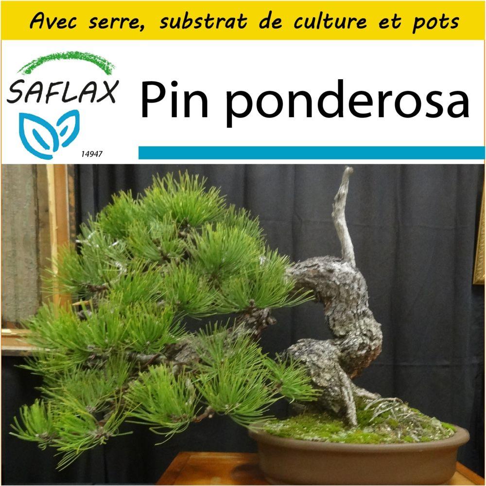 Saflax SAFLAX - Kit de culture - Pin ponderosa - 20 graines - Avec mini-serre, substrat de culture et 2 pots - Pinus ponderosa
