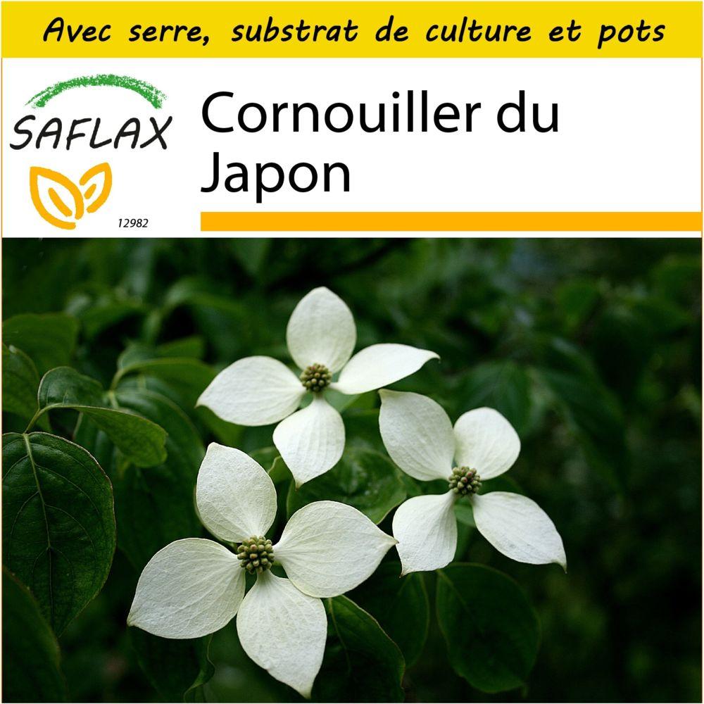 Saflax SAFLAX - Kit de culture - Cornouiller du Japon - 30 graines - Avec mini-serre, substrat de culture et 2 pots - Cornus k