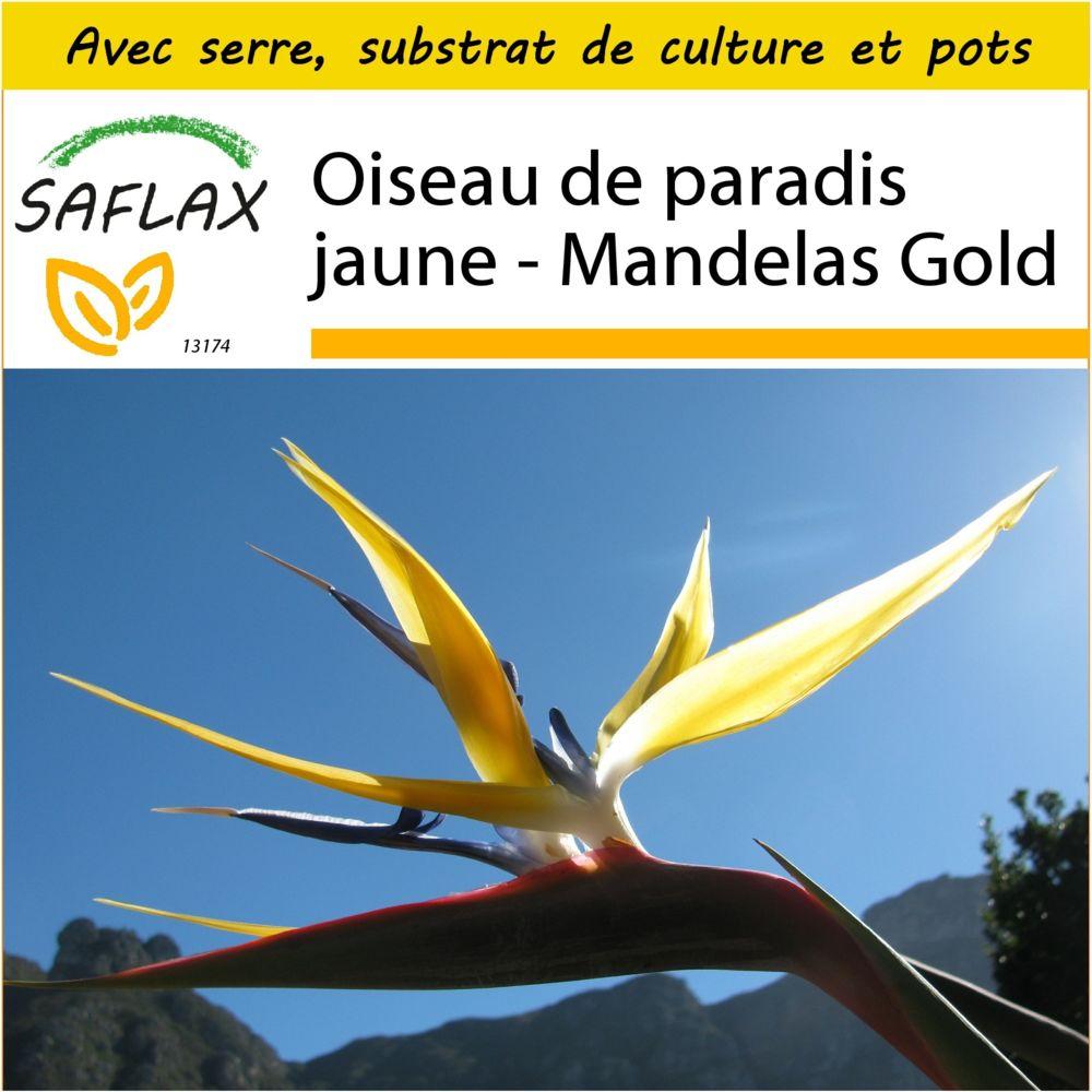 Saflax SAFLAX - Kit de culture - Oiseau de paradis jaune - Mandelas Gold - 4 graines - Avec mini-serre, substrat de culture et
