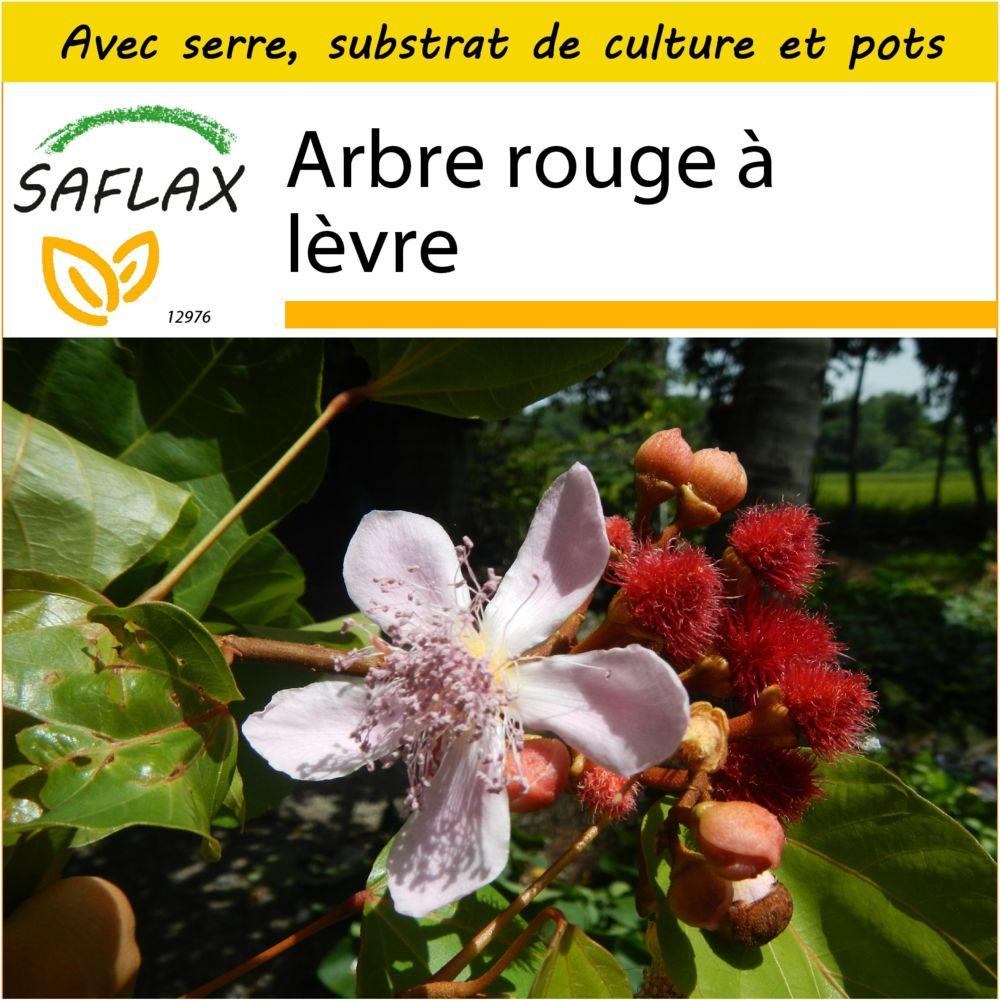 Saflax SAFLAX - Kit de culture - Arbre rouge à lèvre - 20 graines - Avec mini-serre, substrat de culture et 2 pots - Bixa orel